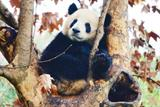 1 Day Chengdu Bus Tour To Chengdu Panda Base And Leshan Giant Buddha